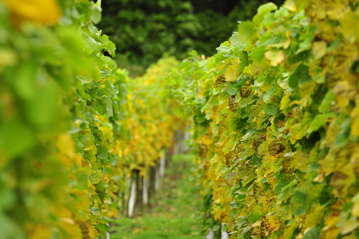 Sächsische Weine